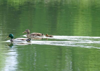 Famille-canard